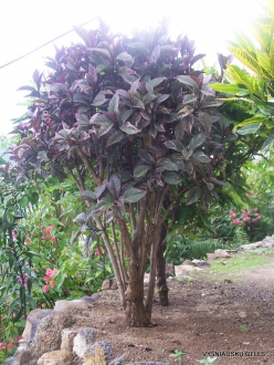 Croton (Codiaeum sp.) collection