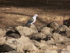 Komodo National Park. Komodo island. Green imperial pigeon (Ducula aenea)