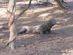 Komodo National Park. Komodo island. Komodo dragons (Varanus komodoensis) (2)