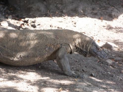 Komodo National Park. Komodo island. Komodo dragons (Varanus komodoensis) (8)