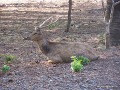 Komodo National Park. Komodo island. Timor rusa deer (Cervus timorensis) (3)