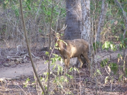 Komodo National Park. Komodo island. Timor rusa deer (Cervus timorensis)