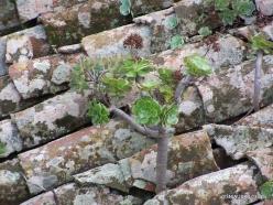 La Gomera. Near Hermigua. Houseleek (Aeonium sp.) (2)
