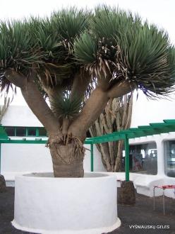 Lanzarote. Casa de Hilario. Dragon Tree (Dracaena draco)