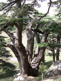 2. Arz ar-Rabb (Cedars of God) reserve (11) Old Cedar of Lebanon (Cedrus libani)