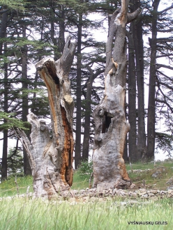 2. Arz ar-Rabb (Cedars of God) reserve (49)