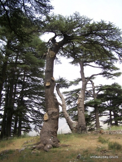 2. Arz ar-Rabb (Cedars of God) reserve (51)