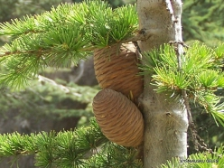 2. Arz ar-Rabb (Cedars of God) reserve. Cedar of Lebanon (Cedrus libani) cones (2)