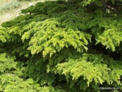2. Arz ar-Rabb (Cedars of God) reserve. Cedar of Lebanon (Cedrus libani)