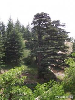 2. Arz ar-Rabb (Cedars of God) reserve. Old Cedar of Lebanon (Cedrus libani) (2)