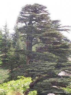 2. Arz ar-Rabb (Cedars of God) reserve. Old Cedar of Lebanon (Cedrus libani) (3)