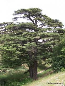 2. Arz ar-Rabb (Cedars of God) reserve. Old Cedar of Lebanon (Cedrus libani) (4)