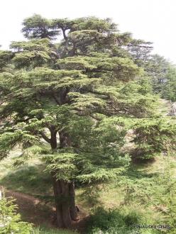 2. Arz ar-Rabb (Cedars of God) reserve. Old Cedar of Lebanon (Cedrus libani)
