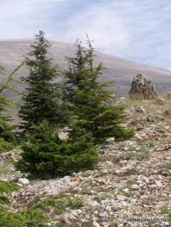 Arz ar-Rabb (Cedars of God) reserve (17)