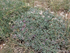 Arz ar-Rabb (Cedars of God) reserve. Astragalus sp.