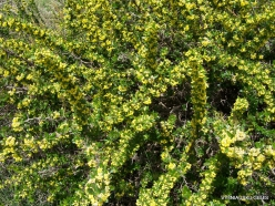 Arz ar-Rabb (Cedars of God) reserve. Lebanon barberry (Berberis libanotica)
