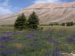 Arz ar-Rabb (Cedars of God) reserve. Meadow of Vicia sp.