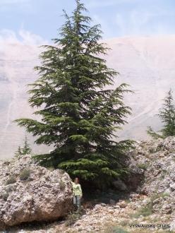 Arz ar-Rabb (Cedars of God) reserve. Young Cedar of Lebanon (Cedrus libani) (2)
