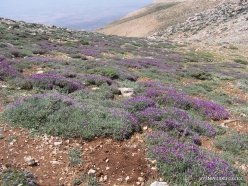 Lebanon Mountains. Machraa el Qalaât. Alpine plants (1)