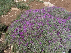 Lebanon Mountains. Machraa el Qalaât. Alpine plants (17)