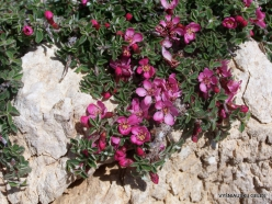 Lebanon Mountains. Machraa el Qalaât. Alpine plants (22)
