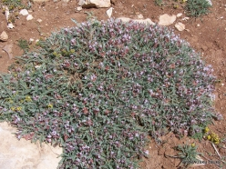 Lebanon Mountains. Machraa el Qalaât. Alpine plants (26)