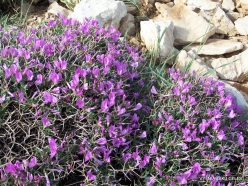 Lebanon Mountains. Machraa el Qalaât. Alpine plants (28)