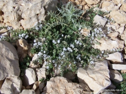 Lebanon Mountains. Machraa el Qalaât. Alpine plants (37)