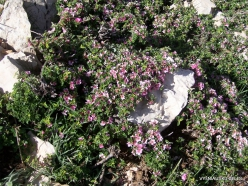 Lebanon Mountains. Machraa el Qalaât. Alpine plants (38)