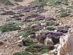 Lebanon Mountains. Machraa el Qalaât. Alpine plants (4)