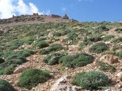 Lebanon Mountains. Machraa el Qalaât. Alpine plants (8)