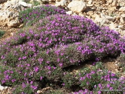 Lebanon Mountains. Machraa el Qalaât. Alpine plants (9)