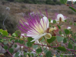 Anfeh. Caper bush (Capparis spinosa)