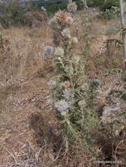 Anfeh. Globe thistle (Echinops sp.)