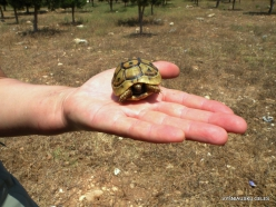 Anfeh. Greek tortoise (Testudo graeca) (2)