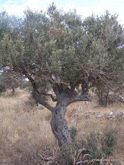 Anfeh. Olive (Olea europaea) (2)