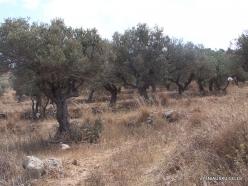 Anfeh. Olive (Olea europaea) (3)