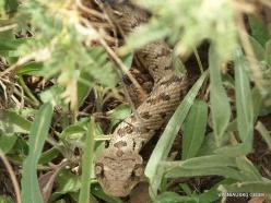 Faitroun. Lebanon viper (Montivipera bornmuelleri)