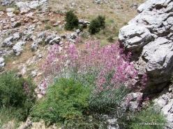 Laqlouq. Centranthus longiflorus