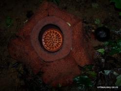 Kelantan. Lojing Highlands. Rafflesia kerrii (3)