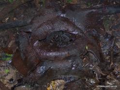Kelantan. Lojing Highlands. Rafflesia kerrii (4-1)