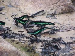 Perak. Near Tapah. Hutan Lipur Kuala Woh. Rajah Brooke's birdwings (Trogonoptera brookiana albescens) (2)