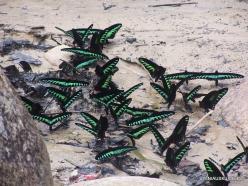 Perak. Near Tapah. Hutan Lipur Kuala Woh. Rajah Brooke's birdwings (Trogonoptera brookiana albescens)