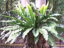 Perak. Near Tapah. Lata Iskandar waterfall. Nest fern (Asplenium nidus)-001