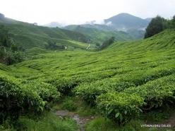 1 Pahang. Cameron Highlands. Tea plantation (2)