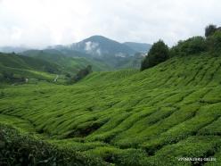 1 Pahang. Cameron Highlands. Tea plantation (4)