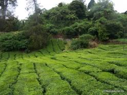 1 Pahang. Cameron Highlands. Tea plantation (5)