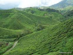 1 Pahang. Cameron Highlands. Tea plantation (6)