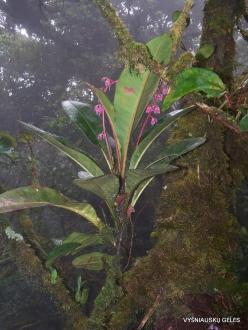 2 Pahang. Near Brinchang. Mossy Forest (13)