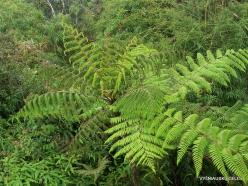 2 Pahang. Near Brinchang. Mossy Forest (5)